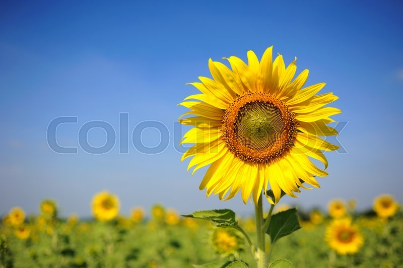 Stock image of 'Sunflower field over cloudy blue sky and bright sun lights'