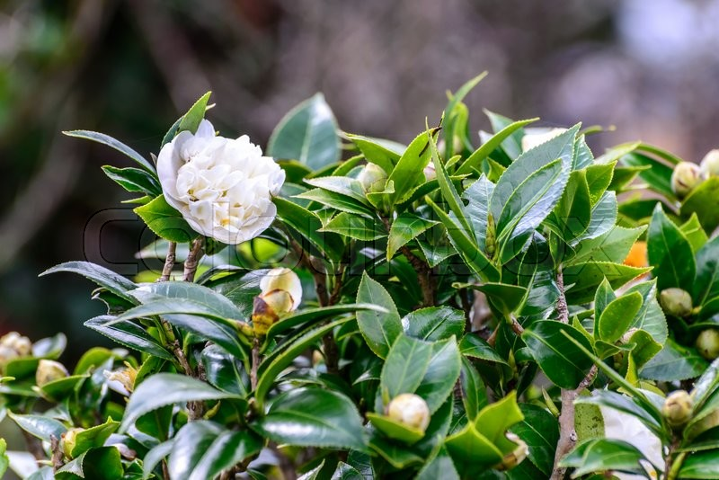 Stock image of 'Tea flower in plantation.\\ '