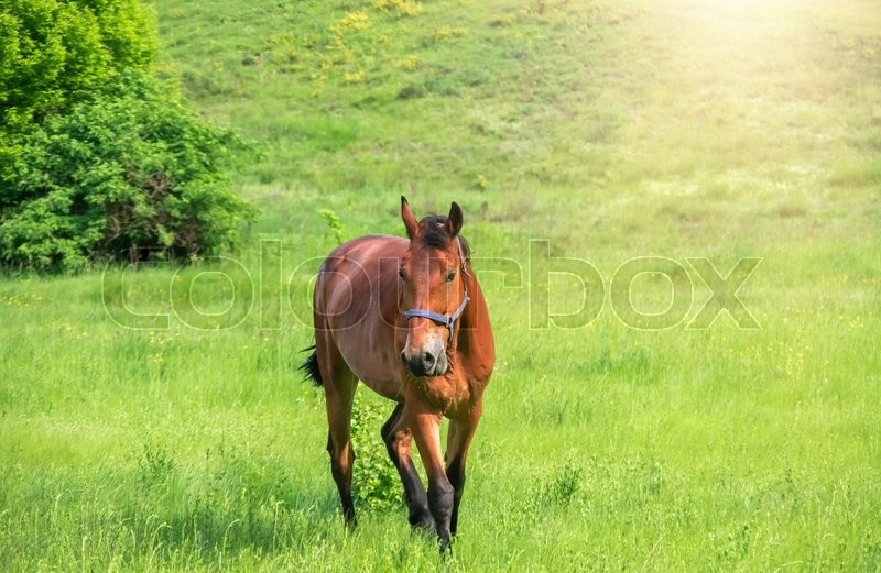Stock image of 'A horse grazing on a green meadow'