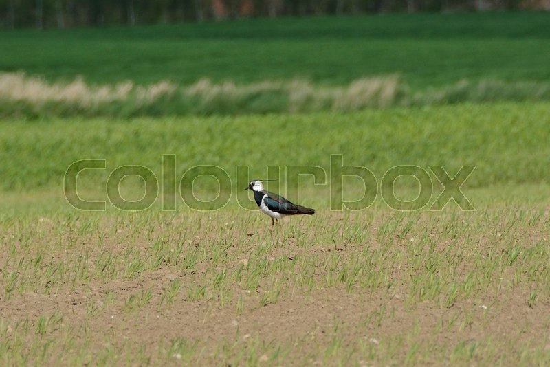 Stock image of 'lapwing, på, mark'