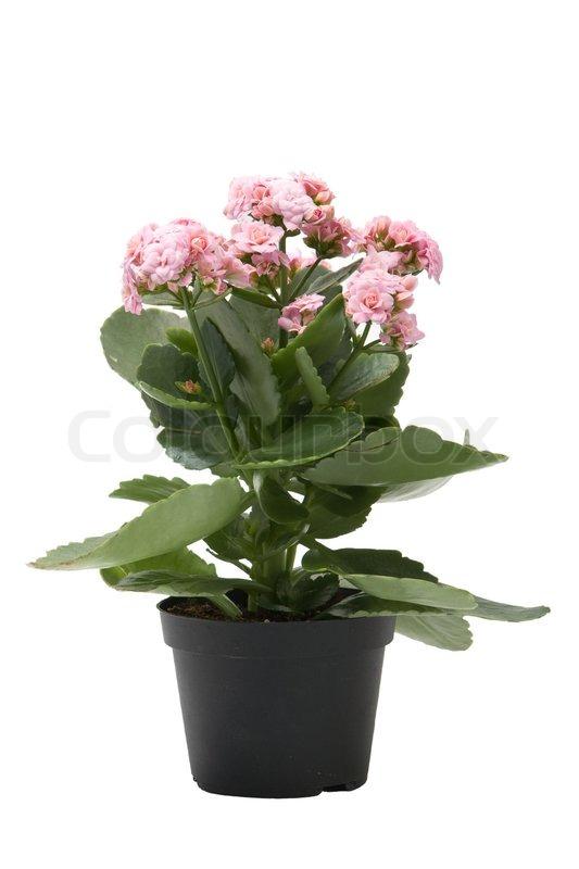 kalanchoe blomst