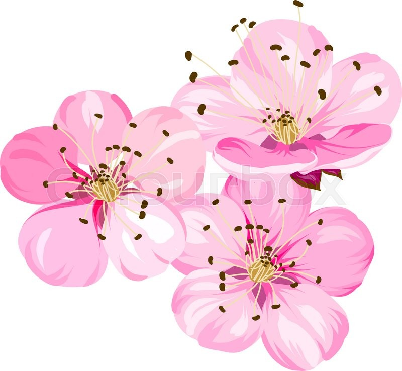 Sakura japan cherry branch with blooming cherry blossom blossom blossom branch of pink sakura flowers beautiful pink cherry blossom flowers sacura isolated over whiteeeting or invitation card vector illustration mightylinksfo