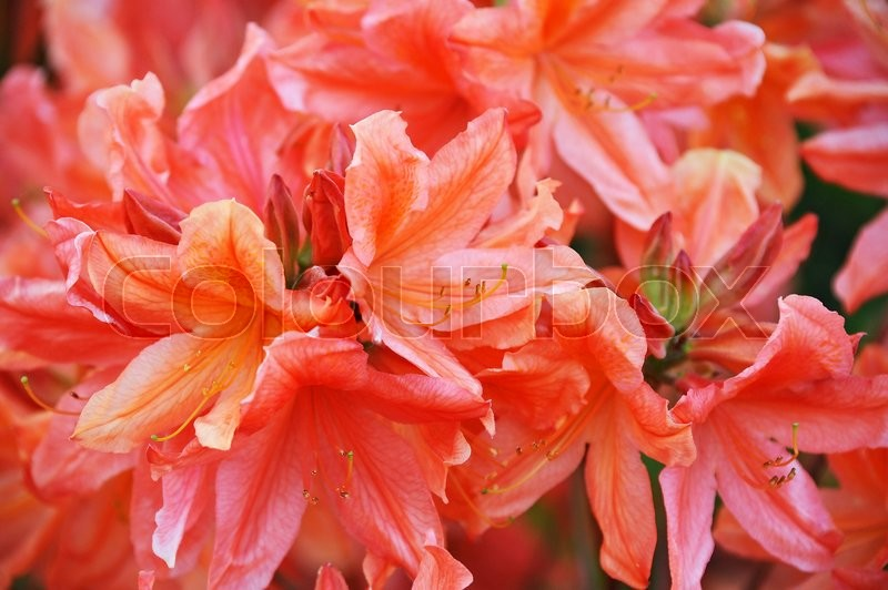 Stock foto af 'blume, molle, rododendron'