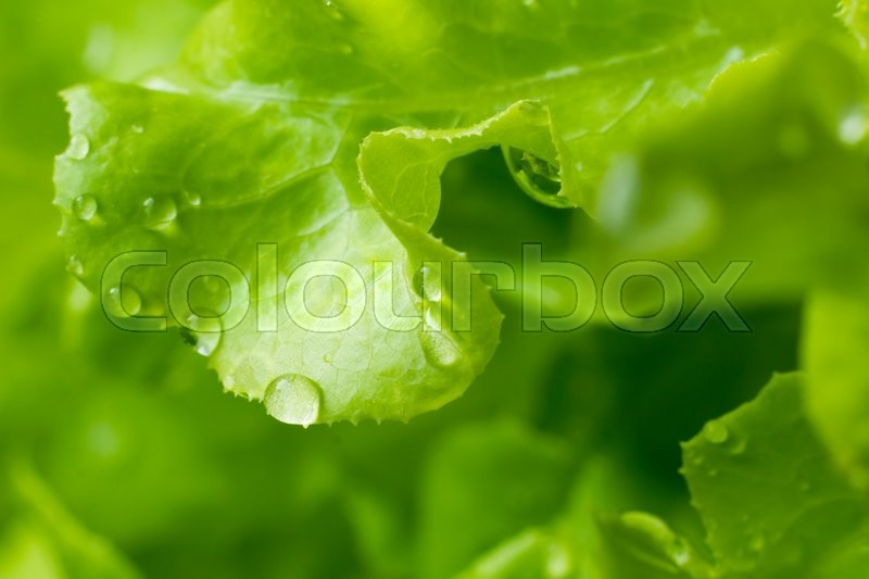 Stock image of 'fresh green lettuce salad with water drop'