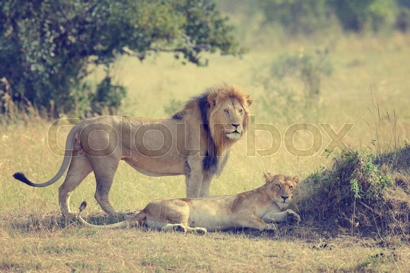 Stock image of 'Close-up lion in National park of Kenya, Africa'