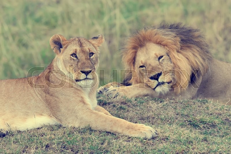 Stock image of 'Close lion in National park of Kenya, Africa'
