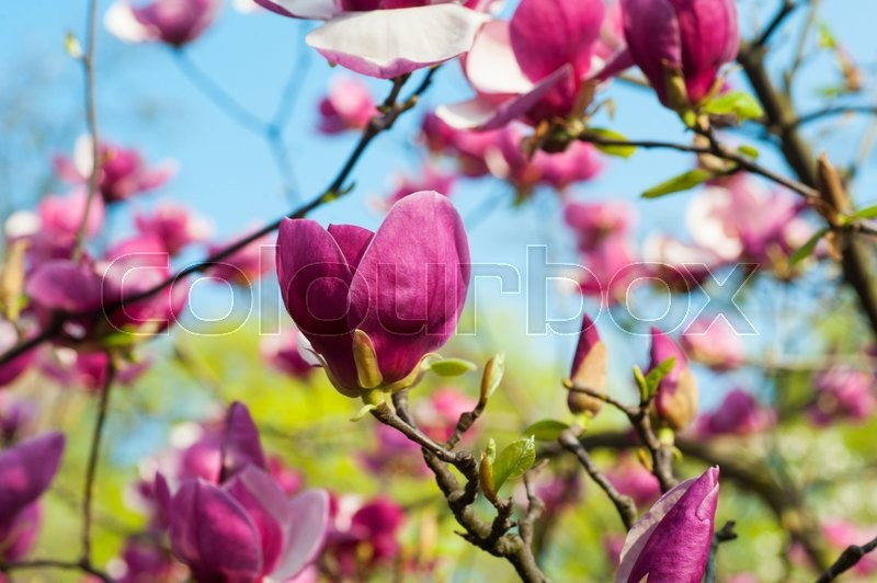 Bloomy magnolia tree with big pink flowers in garden stock photo bloomy magnolia tree with big pink flowers in garden stock photo mightylinksfo