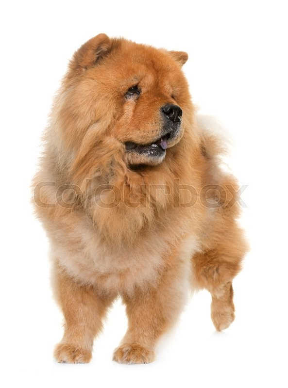 Stock image of 'chow chow in front of white background'