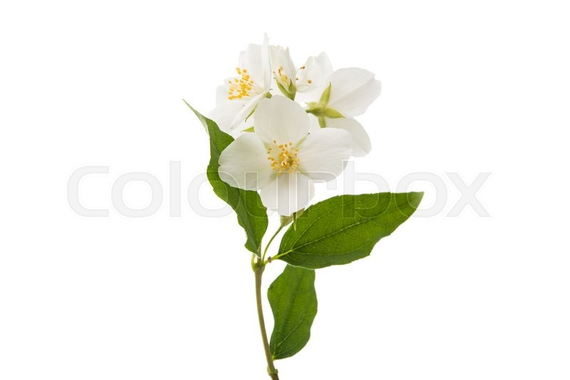 Stock image of 'jasmine flower isolated on white background'