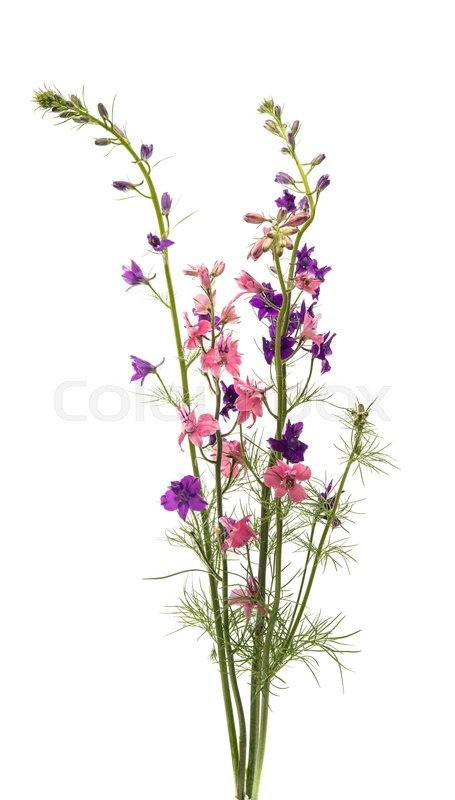 Stock image of 'meadow of pink flowers on a white background'