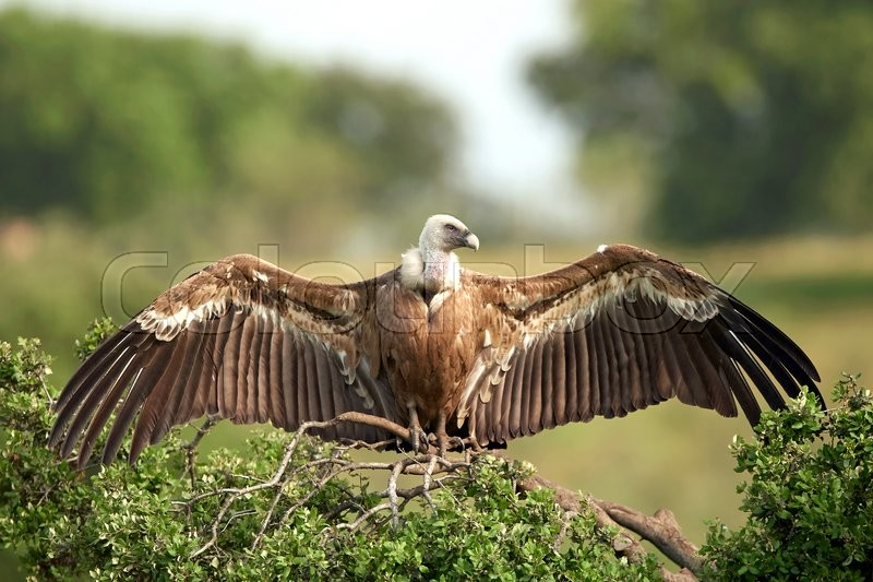Stock image of 'Griffon vultures resting on a branch in its habitat'