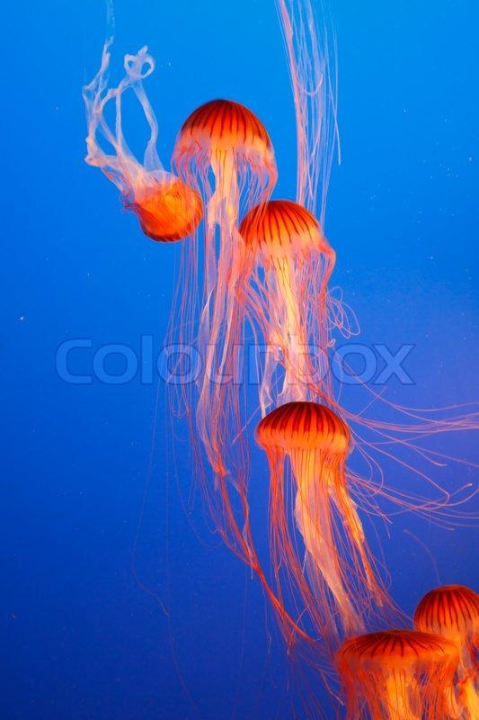 Orange dekorative Quallen in einem Aquarium Wasser Park von ...