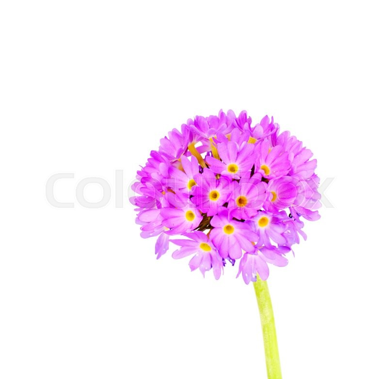 Stock image of 'Purple Flower Primrose on a Light Background'