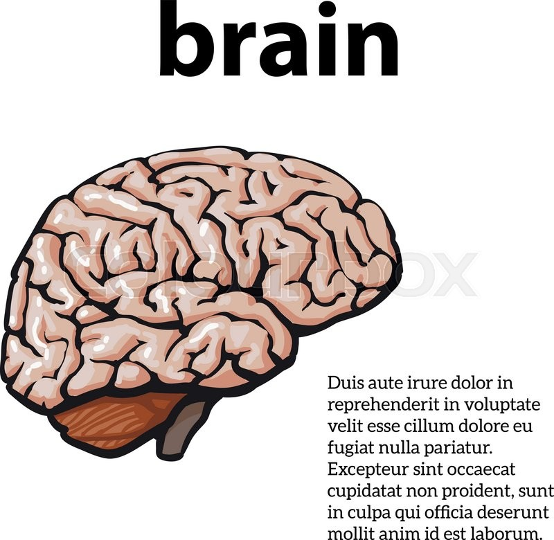 Human Brain Vector Illustration Sketch Of A Brain Isolated On A