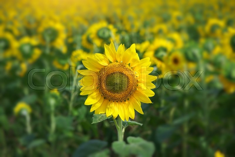 Stock image of 'Sunflower portrait. Composition of nature.'