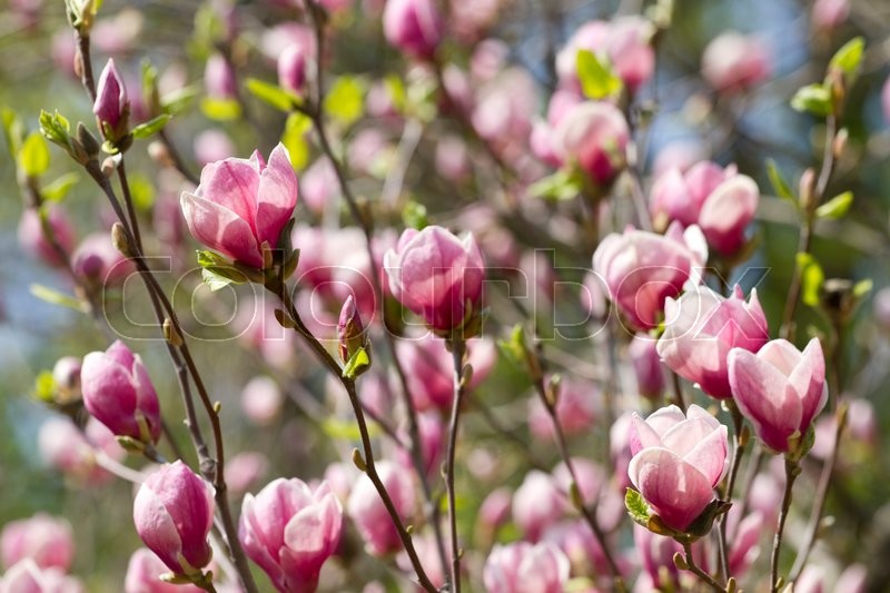 Stock image of 'Blossom magnolia flowers in the spring day'