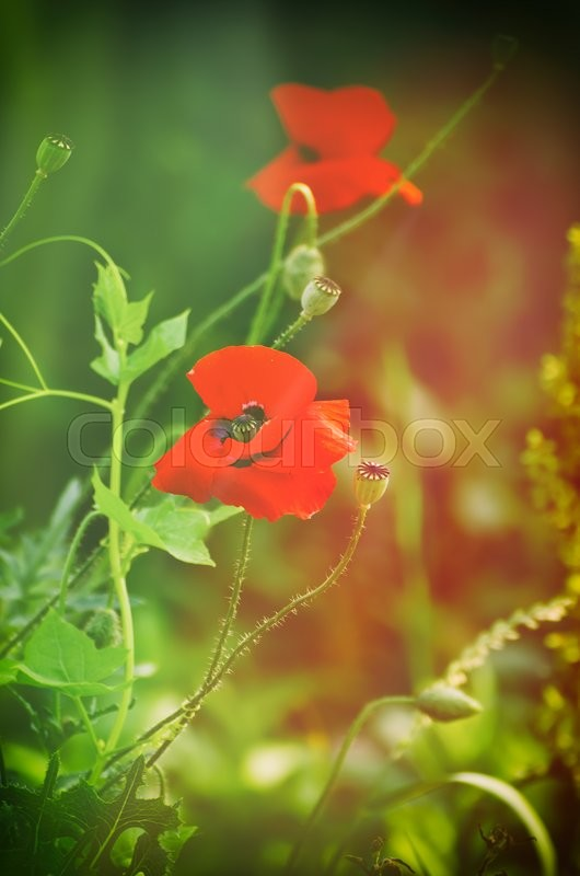 Stock image of 'Red poppy flowers blooming in the green grass field, floral sunny natural spring  vintage hipster background, can be used as image for remembrance and reconciliation day'