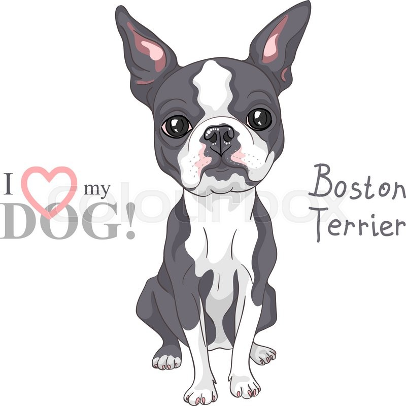 Stock image of ' Serious dog Boston Terrier breed sitting'