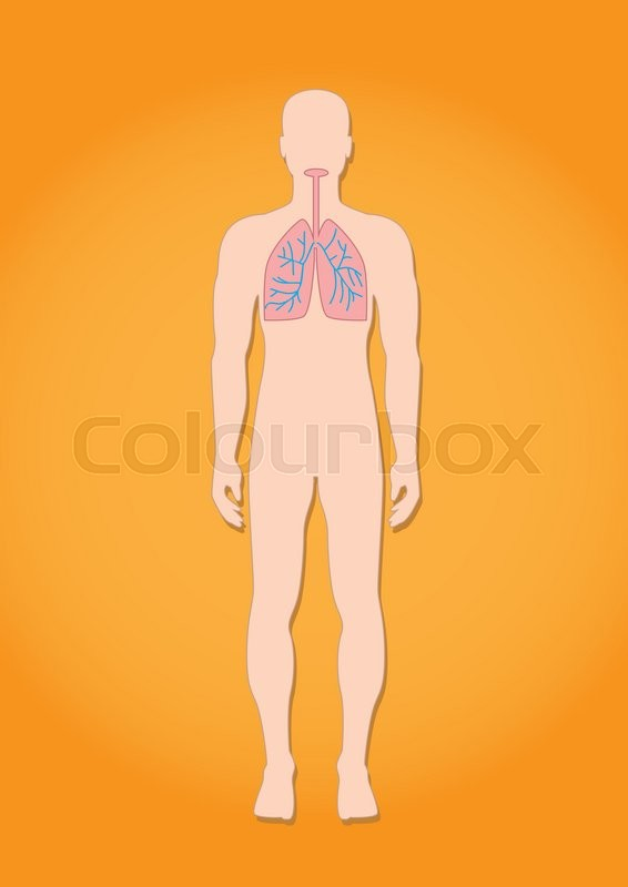 Human Respiratory System Anatomy Stock Vector Colourbox
