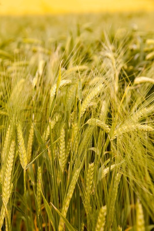 Stock image of 'Image of organic barley growing in field. '