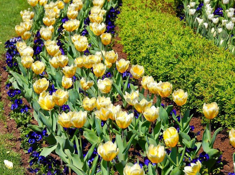 Blomstrende forår gule tulipaner rækker udendørs på blomsterbed i ...