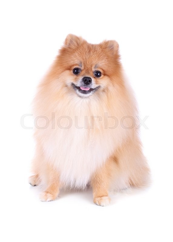 Stock image of 'pomeranian dog isolated on white background, cute pet in home'
