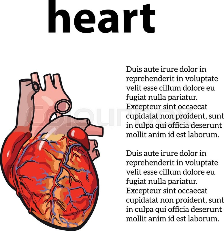 Anatomical human heart vector sketch hand drawn illustration anatomical human heart vector sketch hand drawn illustration isolated on white background sketch the human heart the concept of heart disease with ccuart Image collections