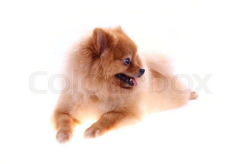 Stock image of 'Brown pomeranian dog isolated on white background, cute pet in home'