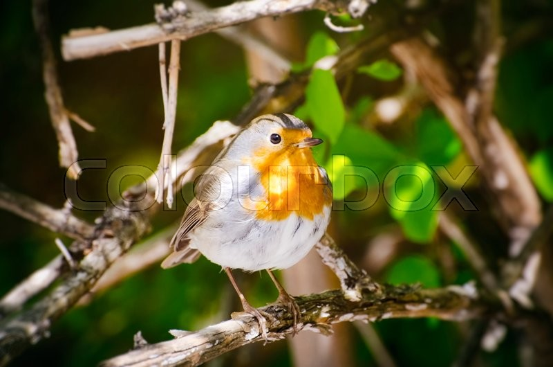 Stock image of 'Robin Bird in Sunny Day'