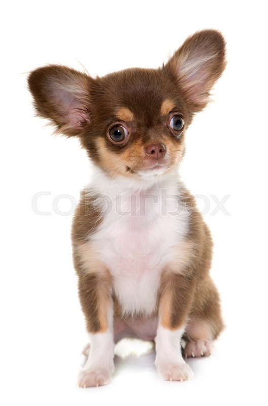 Stock image of 'puppy brown chihuahua in front of white background'