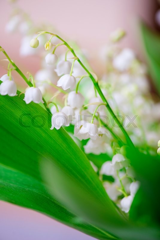 Stock image of 'Close-up photo of a small white flower lily of the valley'
