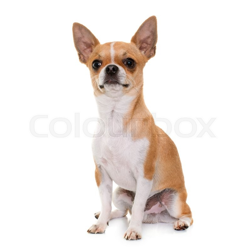 Stock image of 'young chihuahua in front of white background'