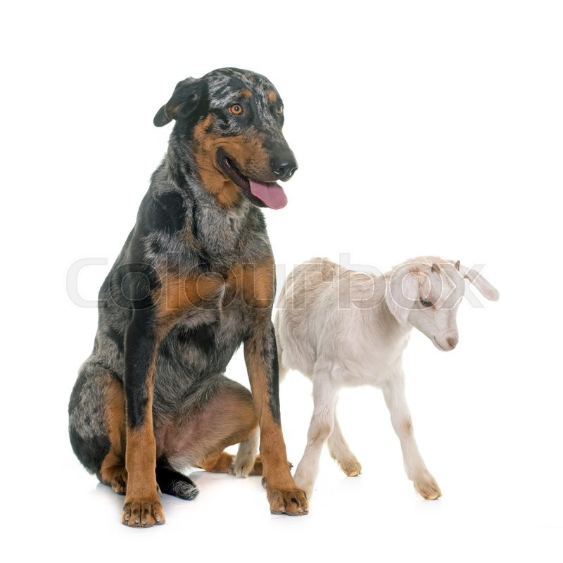 Stock image of 'female harlequin beauceron and kid in front of white background'