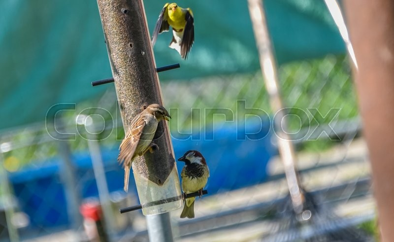 Stock image of 'Little Yellow birds - American Goldfinches (Spinus tristis) feeding at a seed feeder as they make their new homes.'