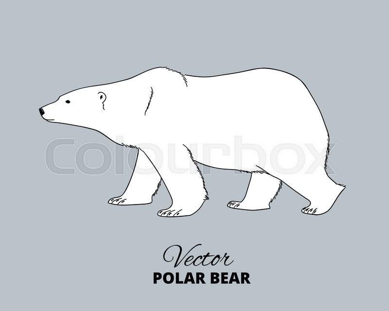 Polar Bear Hand Drawn Illustration Stock Vector Colourbox