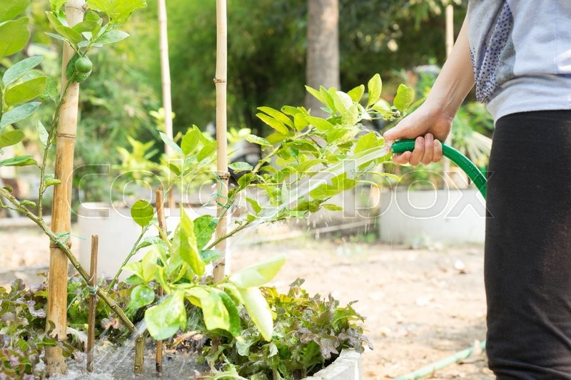 Stock image of 'women watering lime tree in the garden'