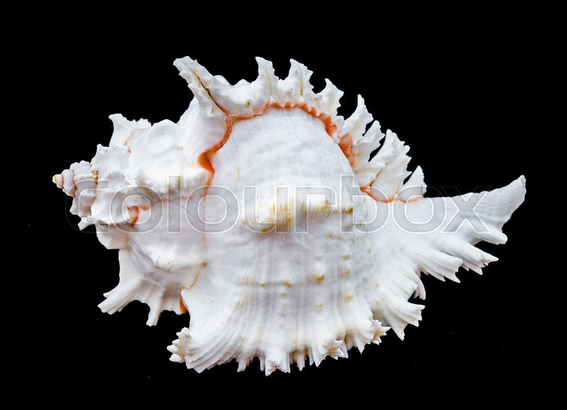 Stock image of 'Seashell murex ramosus. Seashell murex ramosus, A perfect and amazing rural shell on black blackground, one white shell isolated on black background'