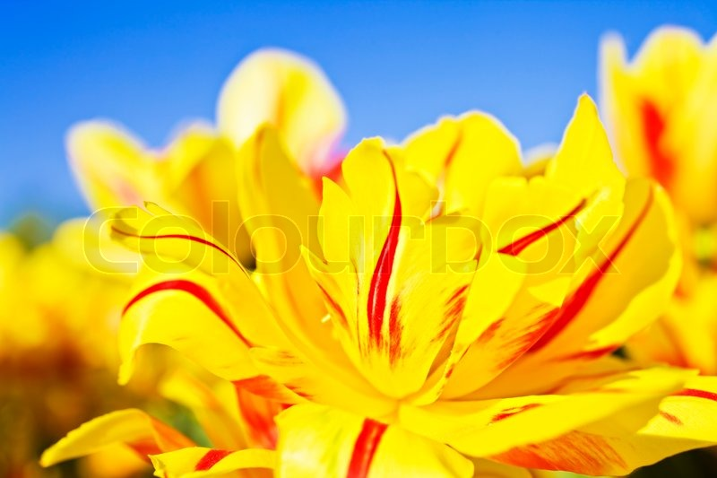Yellow and red flowers blooming tulips against the blue sky closeup yellow and red flowers blooming tulips against the blue sky closeup stock photo colourbox mightylinksfo