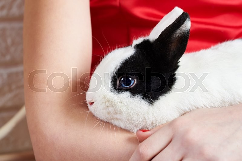 Pet rabbit sitting on the hands of the hostess, stock photo
