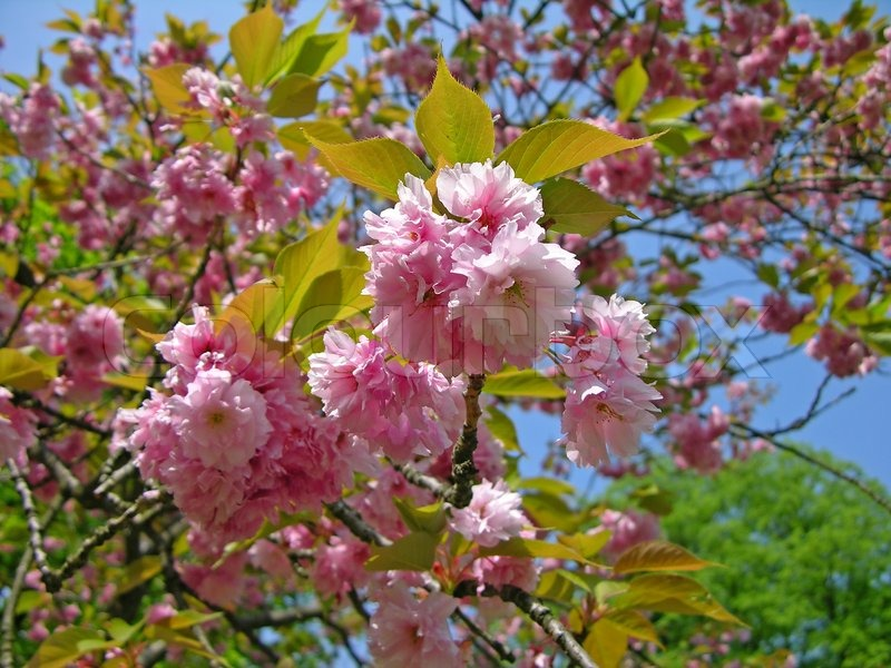 Pink sakura flowering cherry blossom stock photo colourbox pink sakura flowering cherry blossom stock photo mightylinksfo