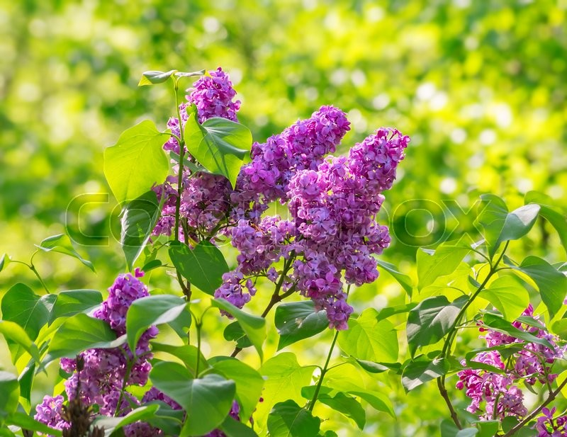 Stock image of 'Lilac blossom in spring against green leaves'