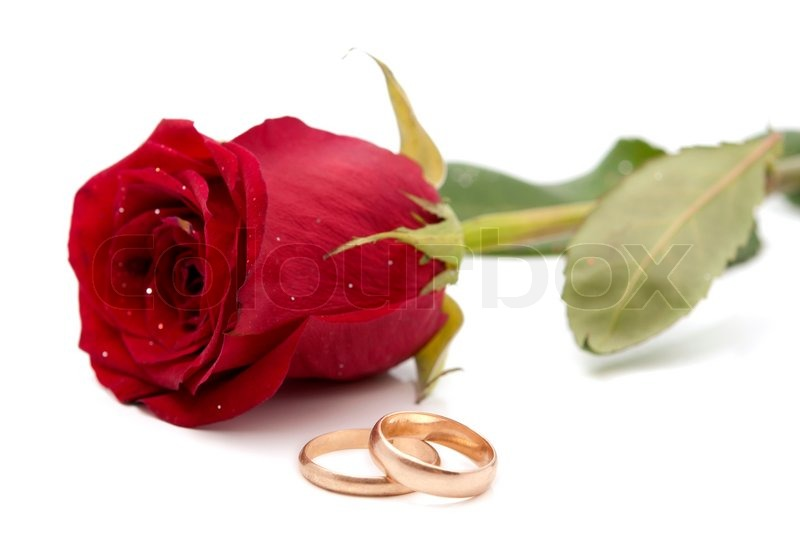 red rose with wedding rings on a white background stock photo