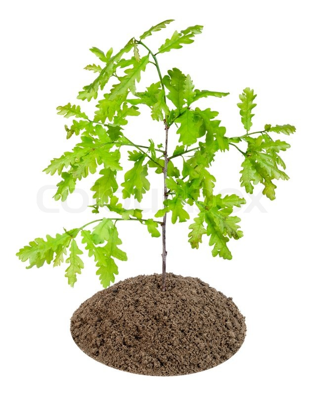 Small sapling, sprout of the European oak tree has grown ...