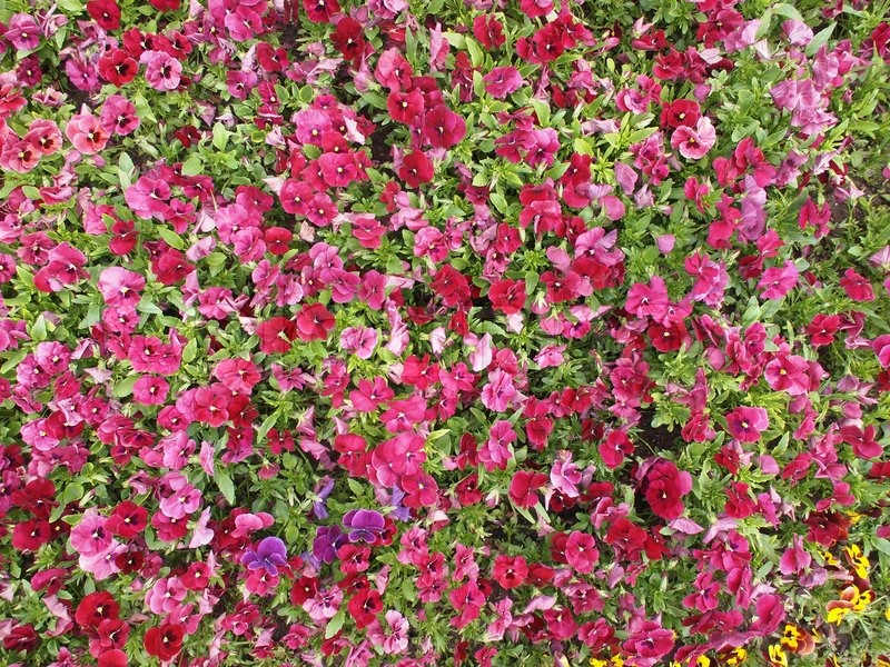 Pink blomster i haven latinske navn Viola tricolor | stock foto | Colourbox
