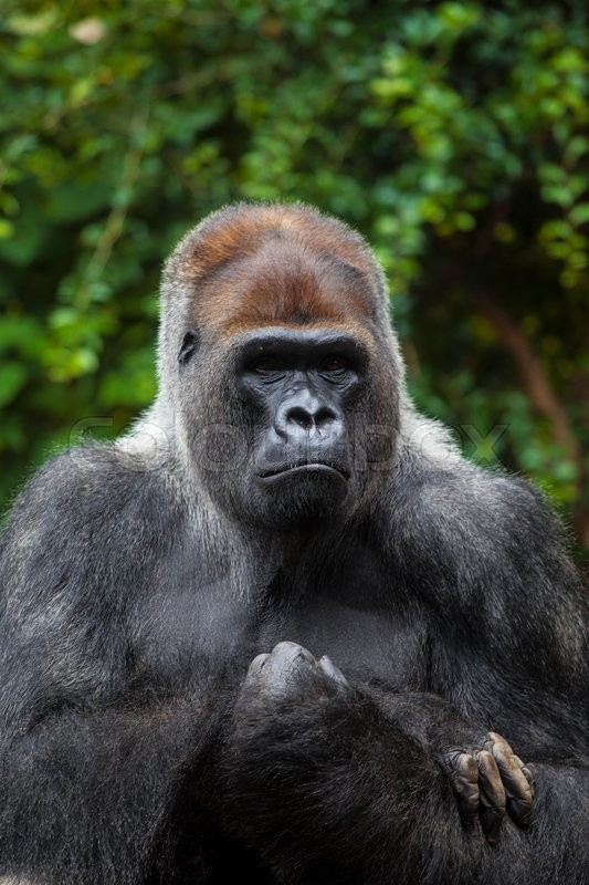 portrait of big black gorilla male at the zoo on brown green