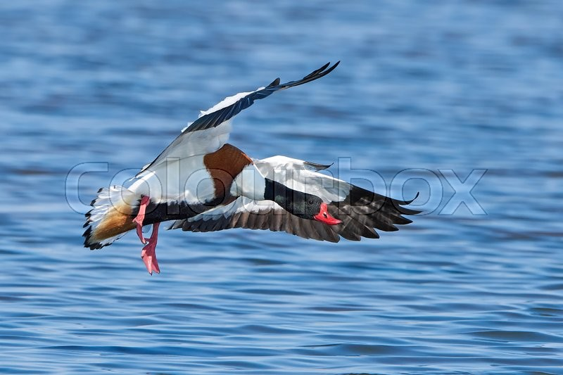 Stock foto af 'Common shelduck (Tadorna tadorna)'