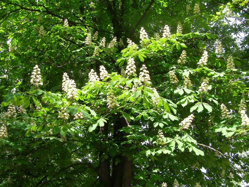 Chestnut tree with white flowers | Stock Photo | Colourbox