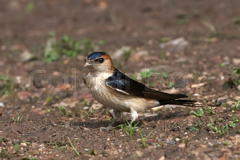 Stock foto af 'Red-rumped swallow (Cecropis daurica)'