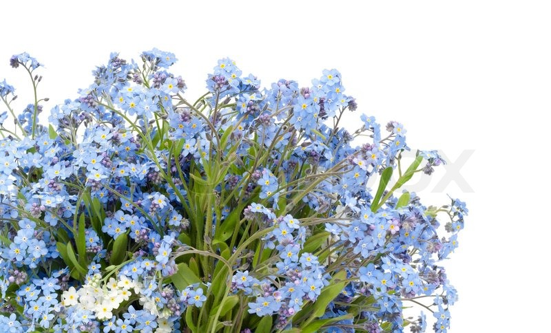 postkarte vom fr hjahr blaue vergissmeinnicht habenichtse myosotis blumen auf wei isoliert. Black Bedroom Furniture Sets. Home Design Ideas