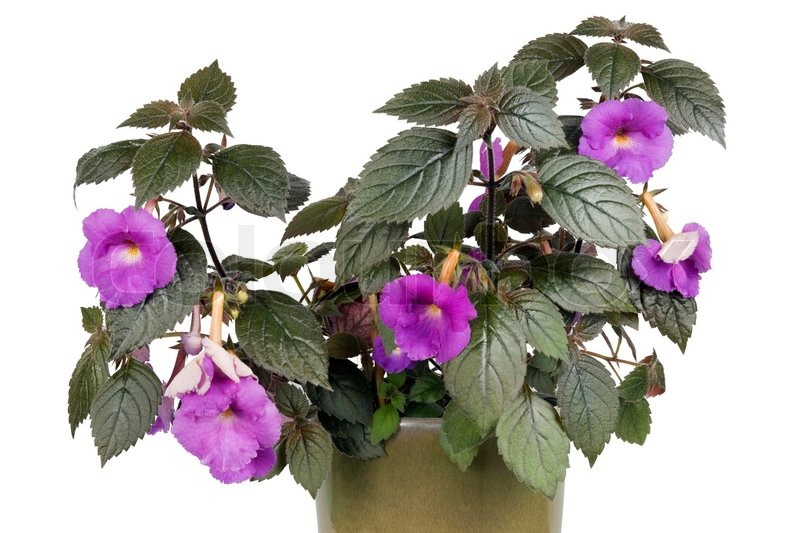Stock image of 'Indoor plant with dark leaves and violet flowers isolated'